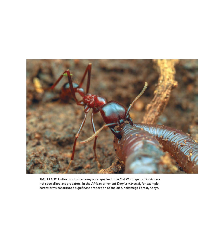 Army Ants internal 3