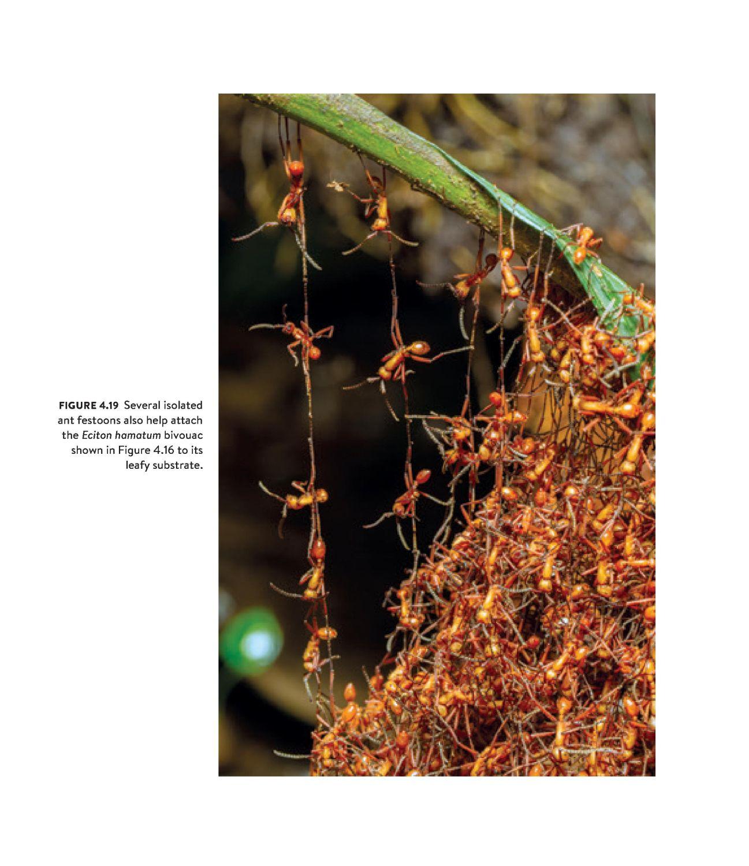 Army Ants internal 4