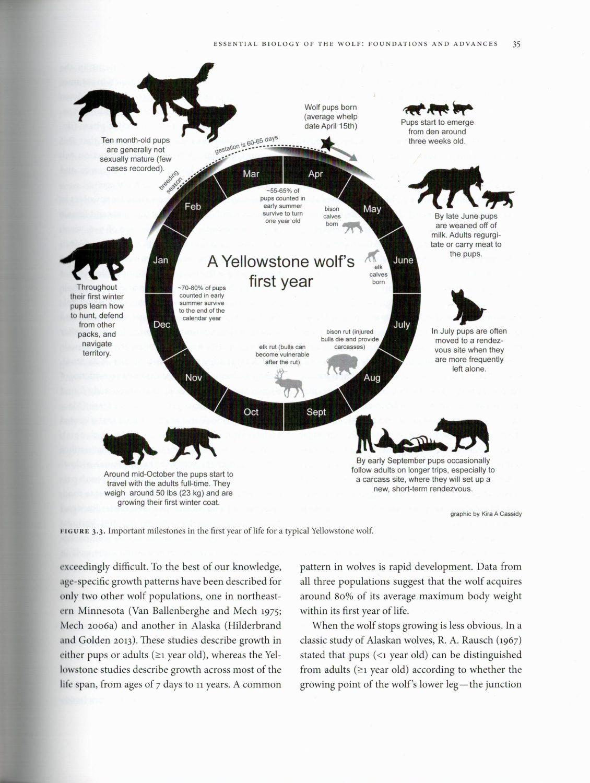 Yellowstone Wolves internal 1