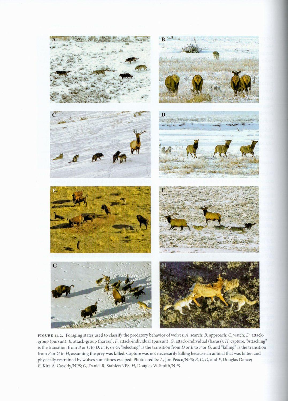 Yellowstone Wolves internal 4